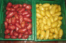 echantillons pommes de terre